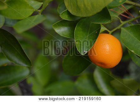 ripe single calamansi or calamondin on right side