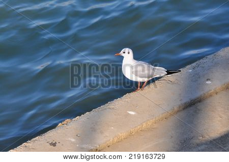 Seagull resting by the river. Seagull on quay