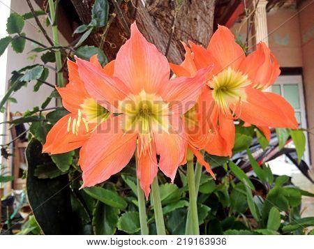 Orange flowers Hippeastrum or Amaryllis blooming in nature garden