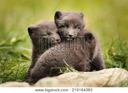 Close up of cute and playful blue morph Arctic fox cubs near a tree log in summer Iceland.