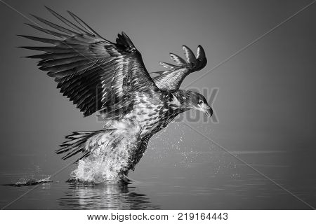 White-tailed Eagle catches the fish in black and white Norway.