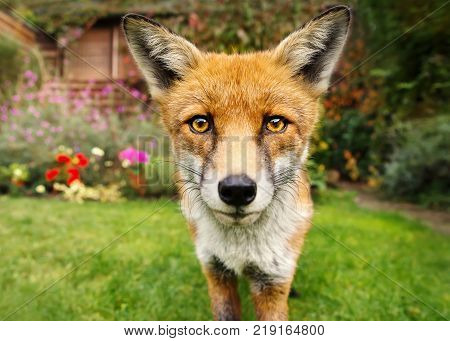 Portrait of a cute red fox in the garden full of flowers. Urban wildlife.