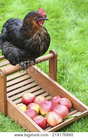 happy free range chicken sat on a basket of apple at a small holding green grass in the background for text overlay