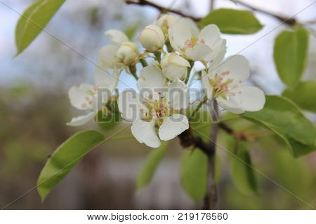 White blossom of pear. Pear tree in blossom. Flowers of pear tree.