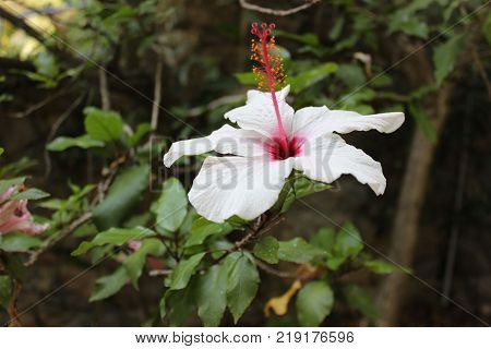 Big hibiscus white flower in botanical garden. Southern plant of hibiscus. Exotic flower in garden.