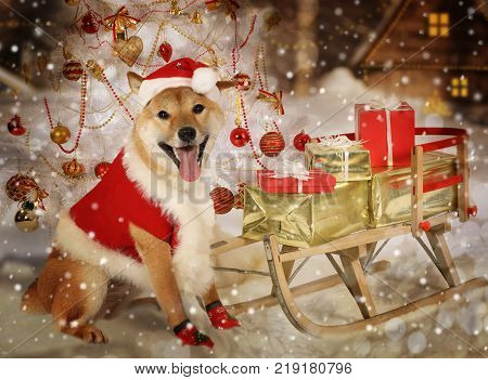 Shiba inu dog dressed in clothes of Santa Claus with a sledge full of Christmas presents on a night winter background