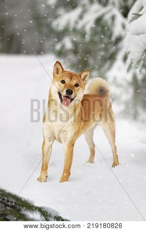 Japanese Shiba Inu dog in the winter forest