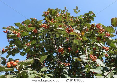 Crown of whitebeam tree against blue sky