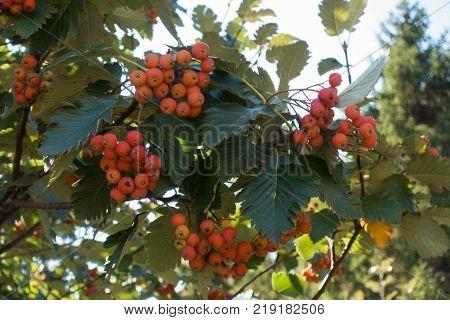 Orange fruits of whitebeam in early autumn