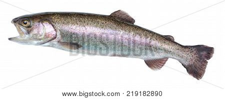 Fish rainbow trout jumping out of the water isolated on a white background