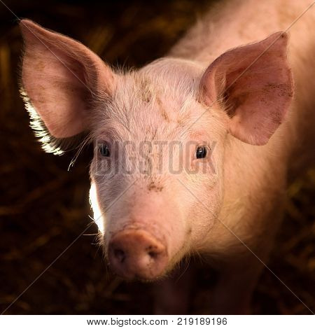 Animal portrait of cute young pig in sty.