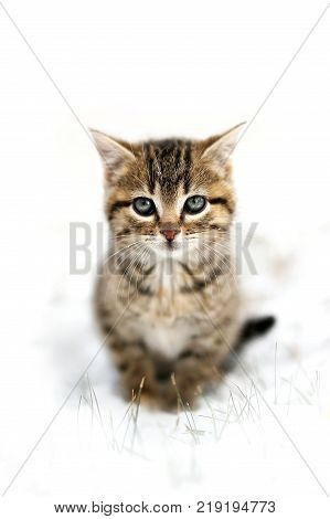 A fuzzy grey Domestic Horthair Taby Cat kitten with black stripes is sitting in the snow on a winter day with a white background for copy-space.