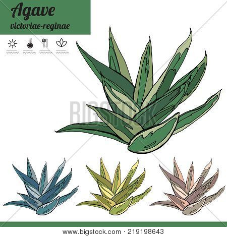 Exotic Plant Agave Isolated On White Background. Tipical Room Plant Grown  Indoors For Home Decorati