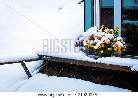 Autumn flowers are covered with the first snow. Chrysanthemums in pots stand outside near the attic window on the roof. It's snowing and falling on the flowers by the window.