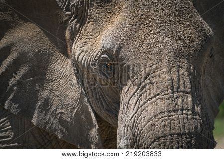 Inquisitive elephant fresh from a mud bath, green bushes in the background, Botswana, Africa