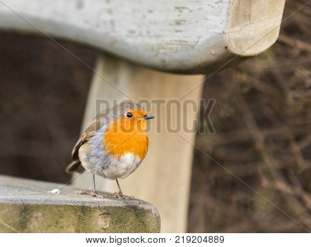 European robin, Erithacus rubecula, resting on a bench in Kristiansand, Norway