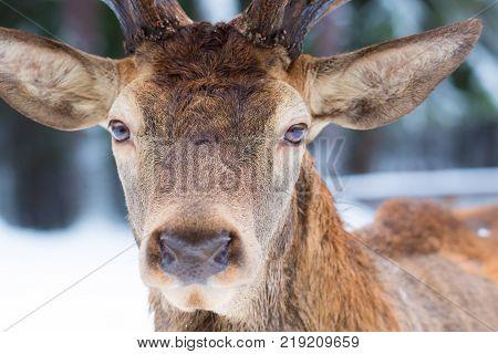 Male noble deer Cervus elaphus portrait looking close up portrait in winter.