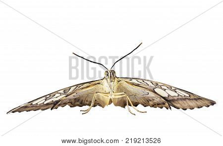 The angry-looking clipper butterfly, Parthenos sylvia, is ready to fly. Front view shows big eyes, antennas and wings. The butterfly is isolated on white background