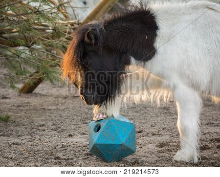 Shetland pony playing with ball, lifts his leg as he tries to get treats from horse ball toy in the paddock