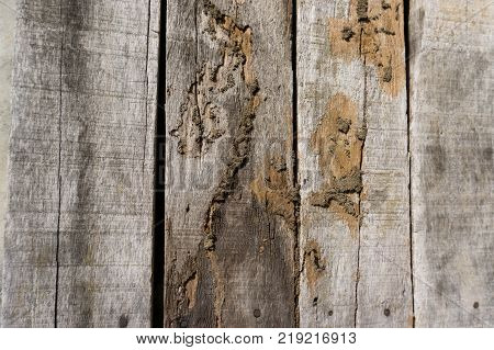 Old wood floor with wood termites.Termites destroying wood from the ground / Termite problem in house concept