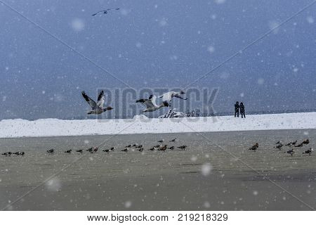 White geese fly away from the ice-covered and snow-covered winter lake