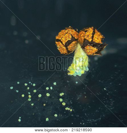 Aged fruit body of a slime mold, or myxomycete, Physarum polycephalum, has released the spores out. Slime moulds are special organisms that gather from many microscopic unicellular amoebae
