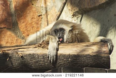 A young lar gibbon ape, Hylobates lar, is licking a bark of a stub with its tongue A monkey has black snout, light hair and very long hands.