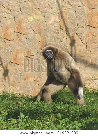 Adult female lar gibbon ape, Hylobates lar, is walking on the grass. A monkey has black snout and brown hair.