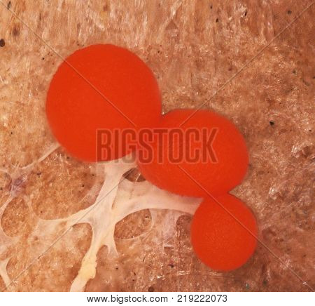 Three red sclerotia of a slime mold, or myxomycete, Physarum. Slime moulds are special organisms that gather from microscopic amoebae. Scleritium is a resting stage for unappropriate conditions