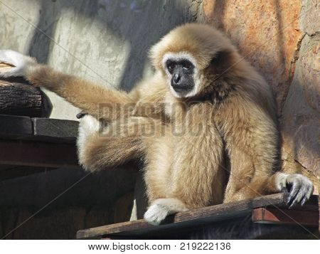 Adult male lar gibbon ape, Hylobates lar, is A monkey has black snout and brown hair.