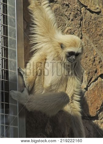 A lar gibbon ape, Hylobates lar, is in a zoo is hanging down from bars holding with a hand. A monkey has black snout and light brown hair.