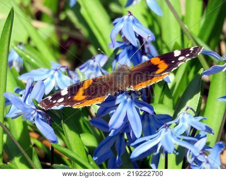 Red Admiral on snowdrop flowers in forest of Thornhill Canada April 17 2017