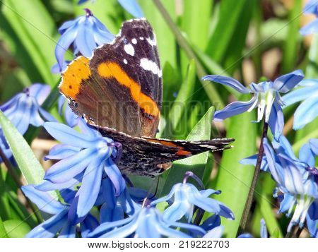 Red Admiral on a snowdrop flower in forest of Thornhill Canada April 17 2017