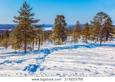 The Polar Circle. Sparse coniferous forest in the snow. Christmas in Lapland. The concept of exotic and extreme travel