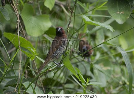 spice finch brown spotted munia eating grass seed perched on grassland close up wildlife bird habitat
