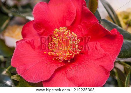 Pink Red Flower Camellia Japonica Dr King