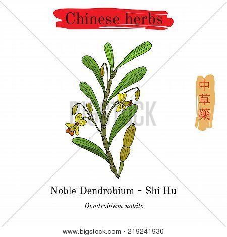 Medicinal herbs of China. Noble Dendrobium. Hieroglyph translation Chinese herbal medicine