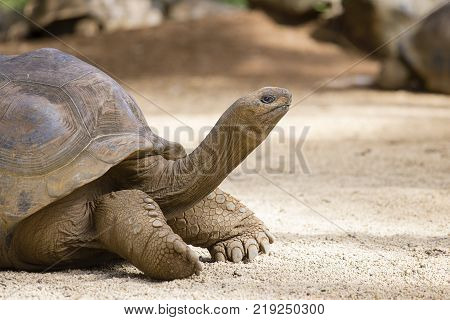 Giant turtles dipsochelys gigantea in island Mauritius Close up