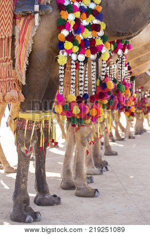 Decorated camel at Desert Festival in Jaisalmer Rajasthan India. Camel's feet close up