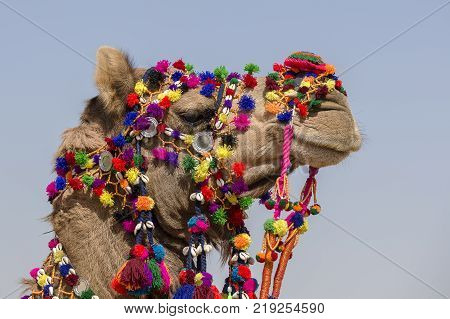 Decorated camel at Desert Festival in Jaisalmer Rajasthan India. Head camel close up