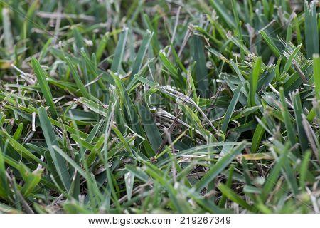 Tough grass growing in a Florida Garden