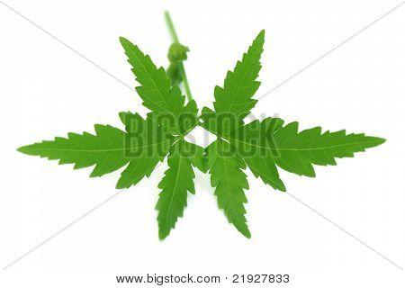 Close up of medicinal neem leaves