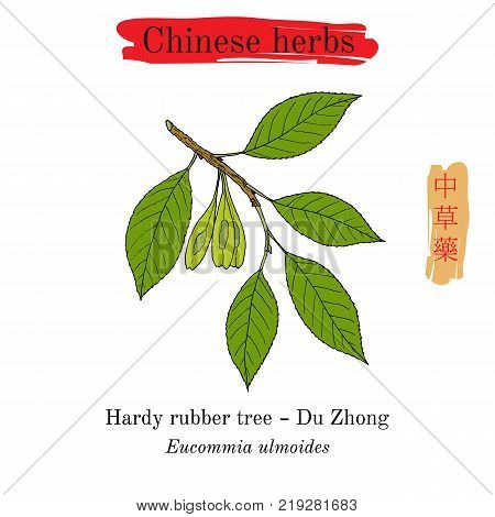 Medicinal herbs of China. Hardy rubber tree Eucommia ulmoides . Hieroglyph translation Chinese herbal medicine