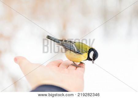 Wild titmouse bird sitting on a hand and eating crumbs against blurred winter forest background