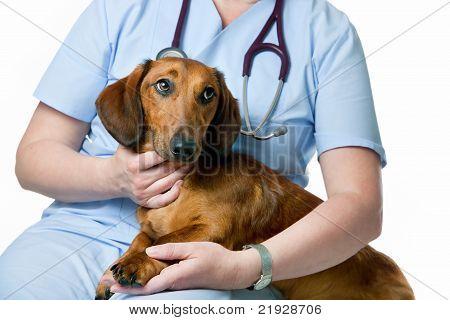 vet examining sick dog