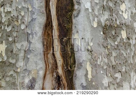 Natural background of autumnal bark in National monument Vrana of landscape architecture Park  on the   outskirts at Sofia, Bulgaria, Europe