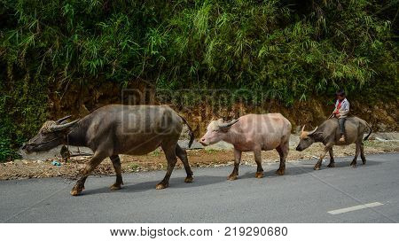 Sapa Vietnam - May 28 2016. People with buffaloes on rural road in Sapa Vietnam. Sapa is a frontier township and capital of Lao Cai Province in north-west Vietnam.