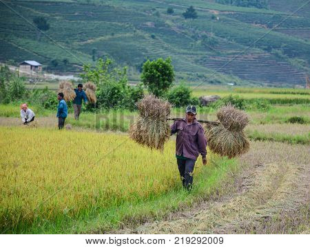 People Harvesting Rice In North Of Vietnam
