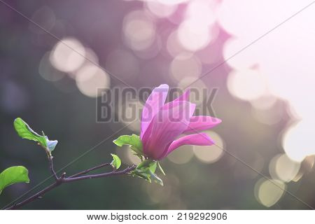 Spring nature beauty. Magnolia flower purple blossom on bokeh natural background. Nobility perseverance dignity concept. Flourishing success youth