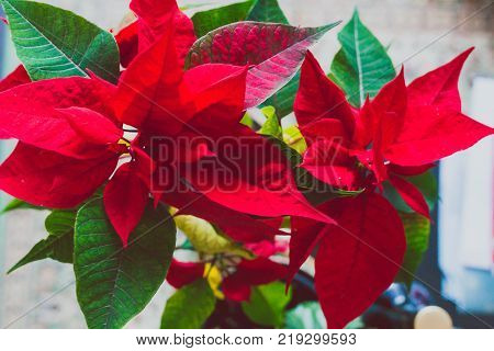 poinsettia plant typical of Christmas tradition in indoor setting